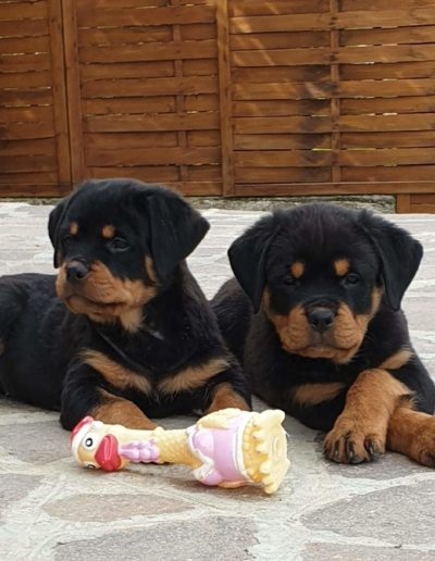 rottweiler cuccioli
